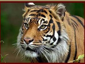 Les tigres de Sumatra transformés en marchandises